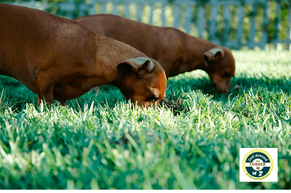 Why does my dog eat poop?