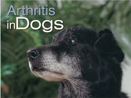 Arthritis And Your Dog