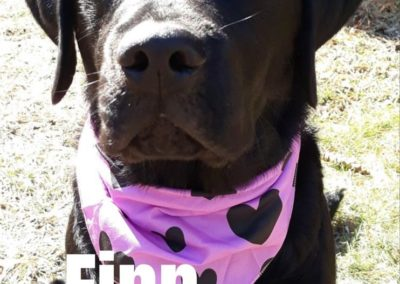 America's Hometown Hound contestant Finn black lab