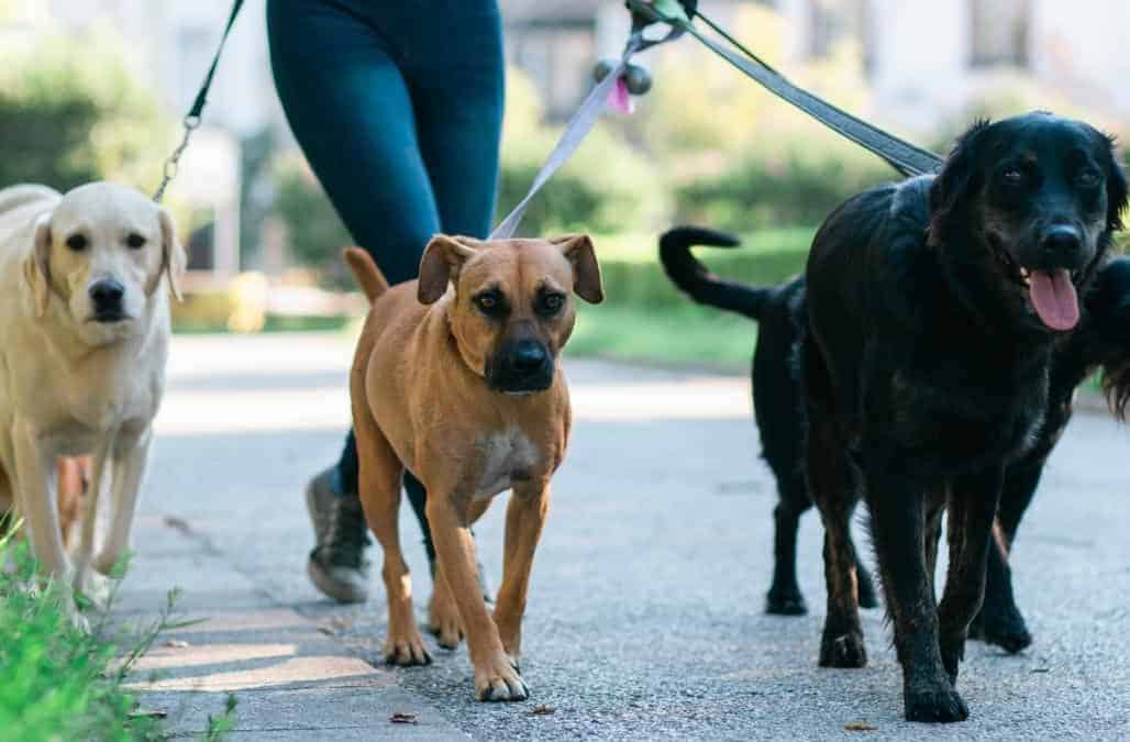dog walker with multiple bigger dogs on leash