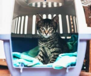 tiger kitty in carrier