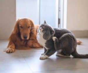 itchy grey cat with dog