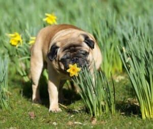 pug with daffodil