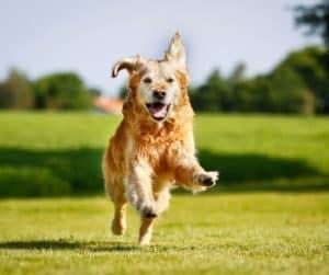 happy yellow dog running to pet sitter