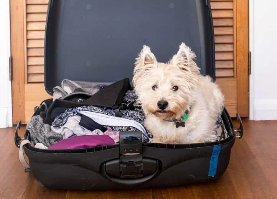Plymouth small white dog in suitcase