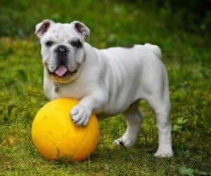white dog yellow ball Plymouth