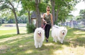 dog walker with large white dogs Plymouth