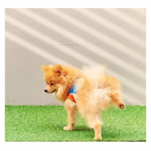 small tan puppy lifting his leg on grass