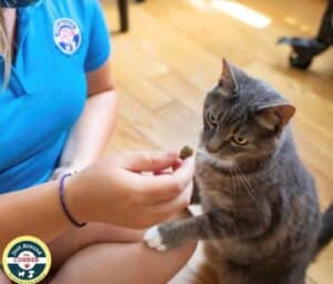 pet sitter petting kitty with white paw on leg