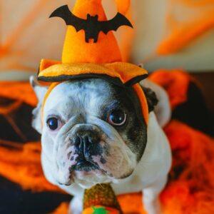 Boston Terrier in Halloween orange witch hat