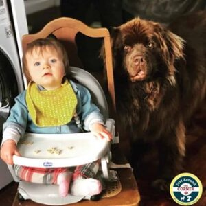baby in high chair eating pumpkin pet snacks with her brown newfie sister