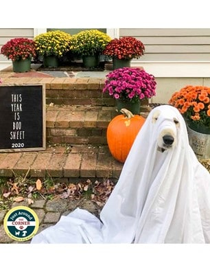 Otis, Dog of Plymouth, MA in his 2020 Halloween Costume