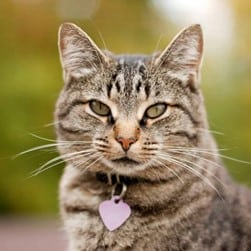 tabby cat with ID tag and collar