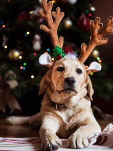 Christmas dog in reindeer antlers