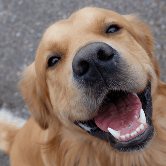 Happy golden retriever dog