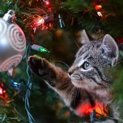 Cat in Christmas tree playing with ornaments