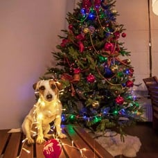 Cute dog in Christmas lights