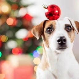 dog with Christmas ornament on head