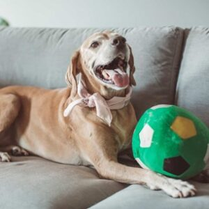 Dog enjoying being home with a pet sitter to care for them