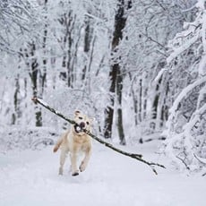 White dog with large stick enjoying winter snowfall