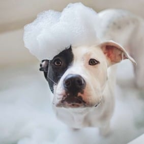 Dog getting a bath with soap suds