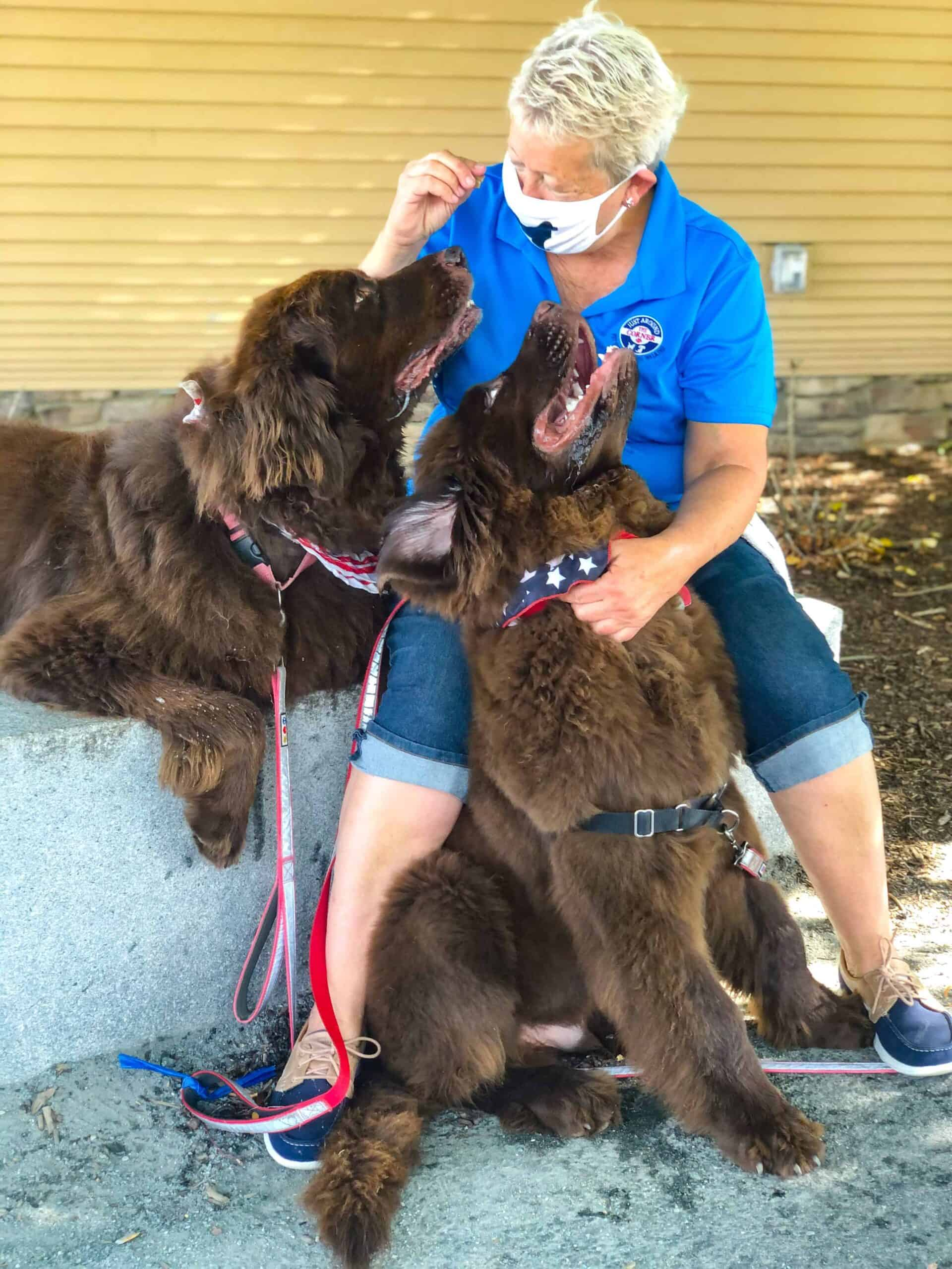 2 brown newfoundlands with pet sitter JAC Mascots