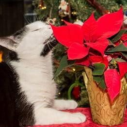 A cat smelling a poisonous poinsettia
